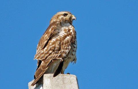 Florida Hawk